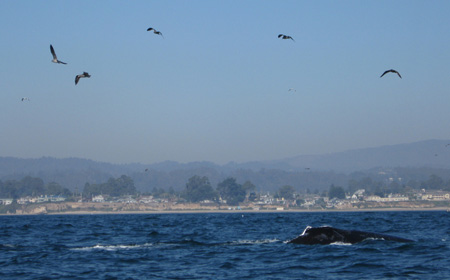 Whale breaching off the coast of Santa Cruz