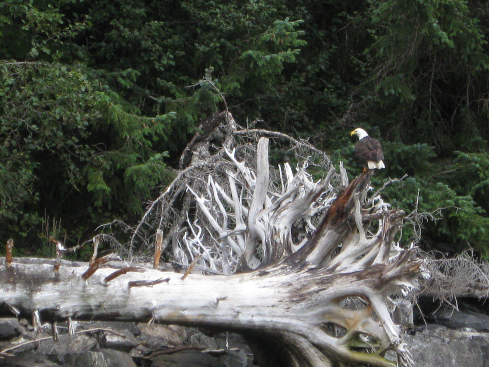 bald eagle on a giant piece of driftwood
