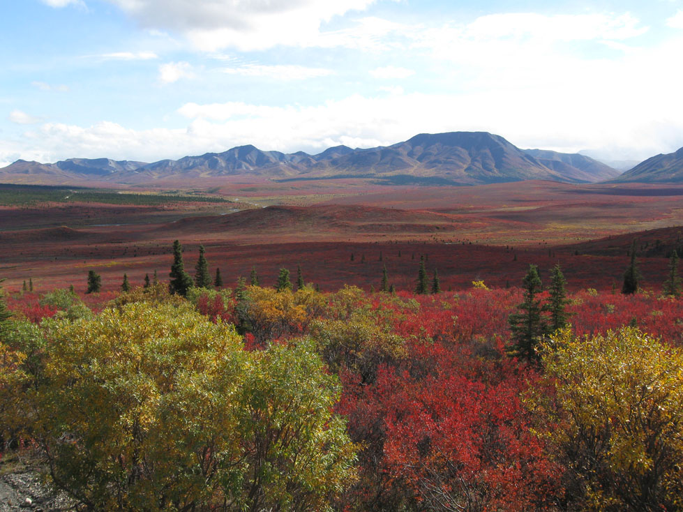 beautiful colors of Denali in the fall