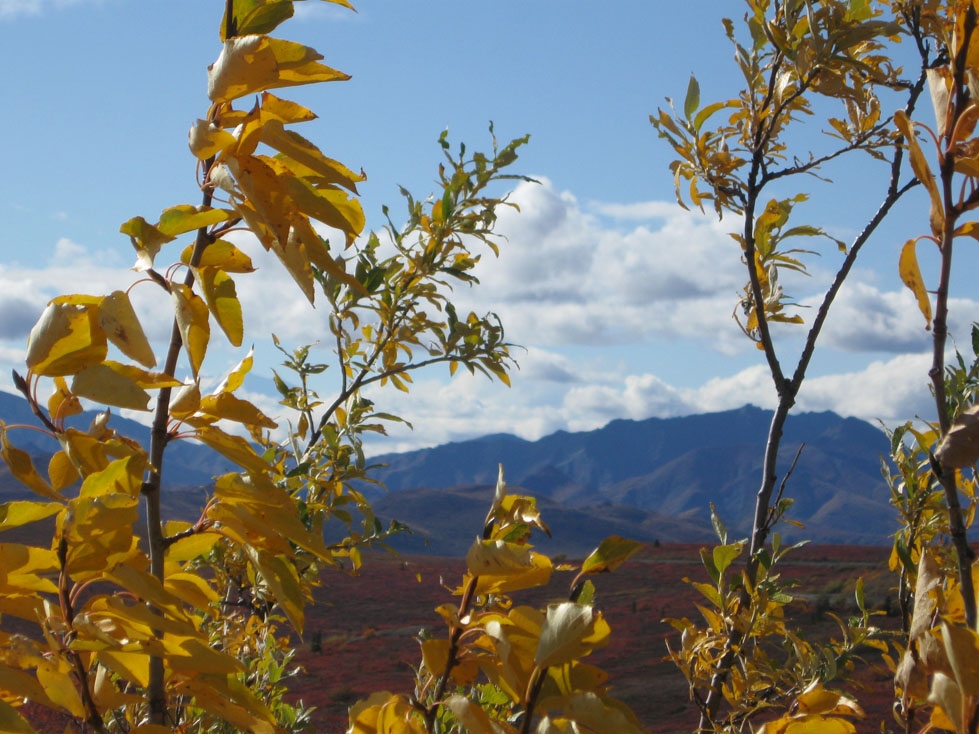 yellow and red leaves in Denali